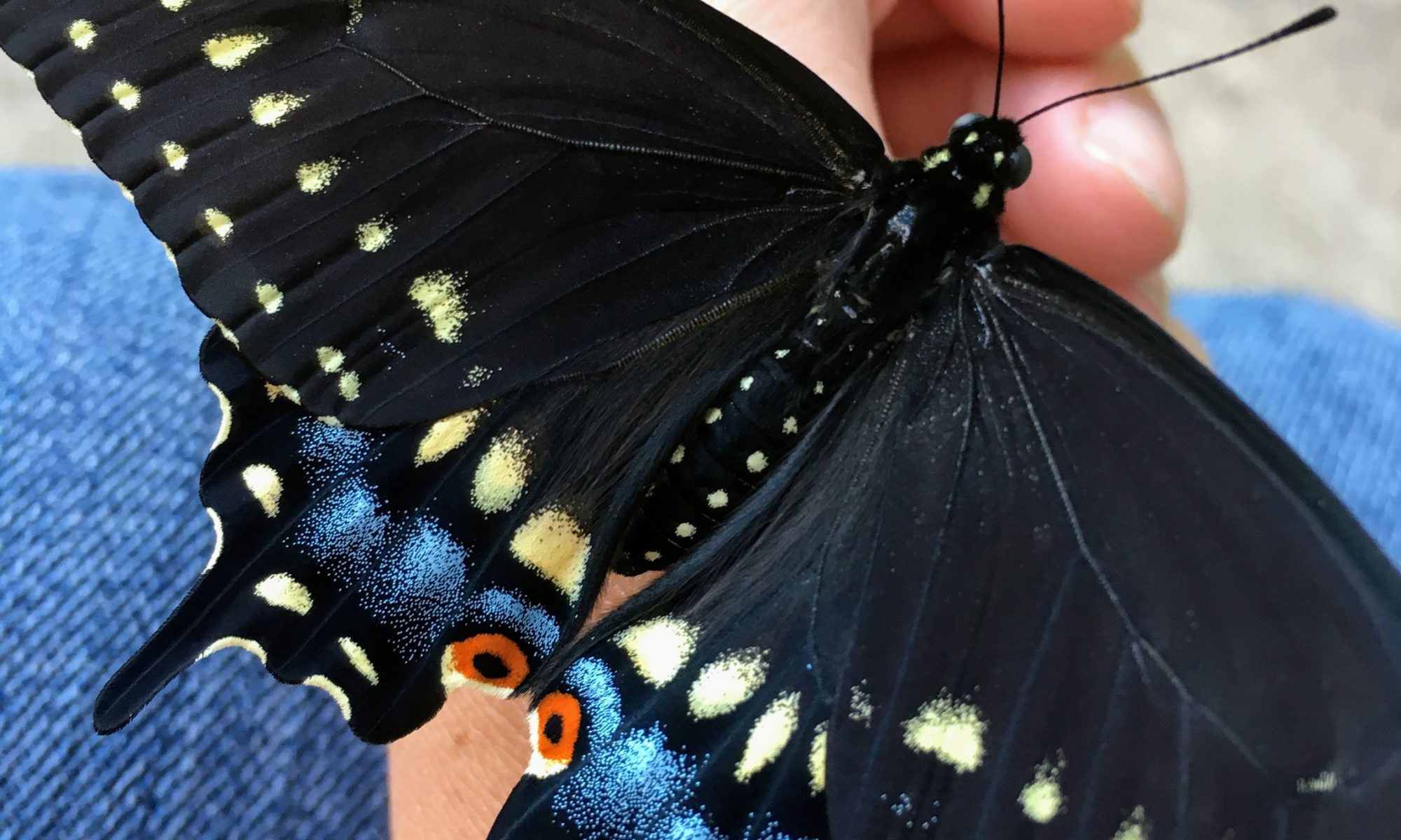 black swallowtail butterfly closeup