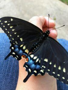 black swallowtail butterfly closeup